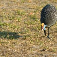 Helmeted Guinea Fowl by jaapv