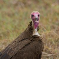 Hooded Vulture by jaapv