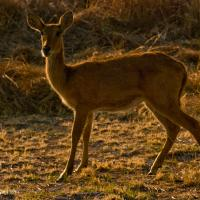 Tha Last Antelope Of The Day by jaapv