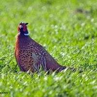 Pheasant by jaapv