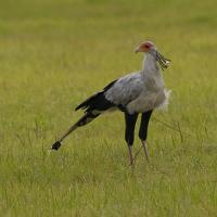 Secretary Bird by jaapv in Jaapv