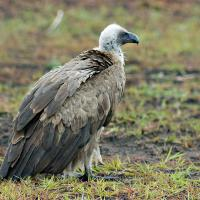 Whitebacked Vulture by jaapv