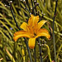 Lilly by Leicadoc in Regular Member Gallery