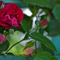 Flowers - Rose With Isco New Lens1 Of 1 by woodmancy