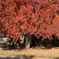 Fuji X10 Raw Red Tree1 Of 1