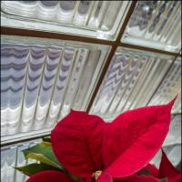 Gxr A16 Lingering Poinsettia by woodmancy