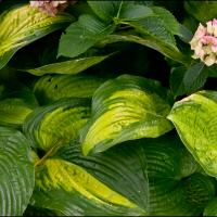 Gxr M-mount Fed 50-3.5 Collapsible - Hostas by woodmancy