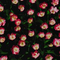 Gxr P10 Hdr Tulips1 Of 1 by woodmancy