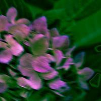 Hydrangea - 2 by woodmancy