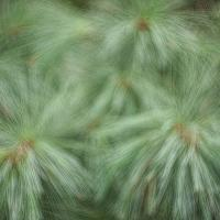Kinoptik 25-2 - Fir Tree Bokeh1 Of 1 by woodmancy