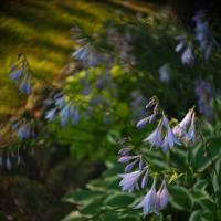 Kinoptik 25-2 - Hosta Flowers1 Of 1 by woodmancy