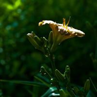 Lilies - Elmar 1351 Of 1 by woodmancy