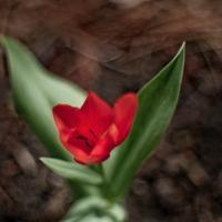 Lone Tulip by woodmancy