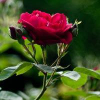 Meyer Trioplan 100mm - Rose Head by woodmancy