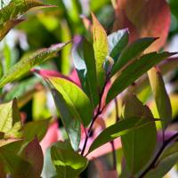 Oly 150-f4 - Red And Green Leaves1 Of 1 843931 by woodmancy
