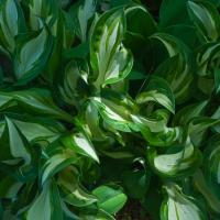Olym4-3 9-18 - Green And Yellow Hosta Leaves1 Of 1 by woodmancy in woodmancy