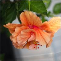 Olympus E-pl1 Hibiscus Canon 35mm Fl by woodmancy