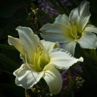 Ricoh Gxr P10 - White Lillies by woodmancy