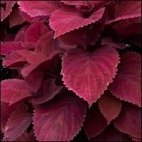 Ricoh Gxr P10 Red Leaf by woodmancy