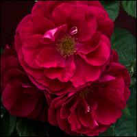 Ricoh Gxrp10 - Red Rose - Topaz by woodmancy