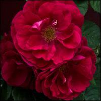 Ricoh Gxrp10 - Red Rose - Topaz by woodmancy in woodmancy
