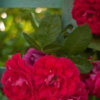 Roses - Ennawerk1 Of 1 by woodmancy