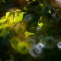 Sigma Mirror Lens - Backlit Hedge1 Of 1 by woodmancy