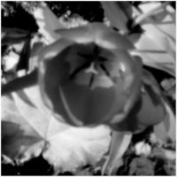Skink Pin Hole Flower Black And White by woodmancy