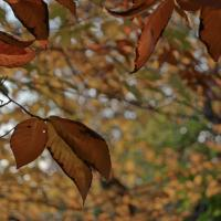 Sony 18-55beech Leaves1 Of 1 by woodmancy in woodmancy