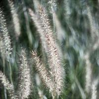Sony Nexc3 W Oly Pen F 38 1.8 - Grass Vertical by woodmancy
