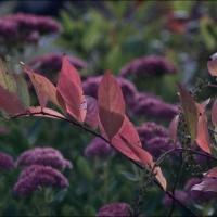 Sony Nexc3 W Steinheil 135mm - Red Leaves by woodmancy