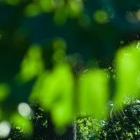 Sunlight Through Leaves - Elmar 1351 Of 1 by woodmancy