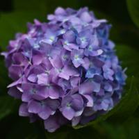 Yashinon 50-1.7 Hydrangea by woodmancy