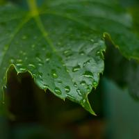 Yashinon 50-1.7 Ivy Leaf - Another One by woodmancy