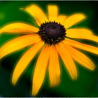 Yellow Daisy - If by woodmancy