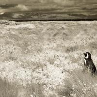 Little Lost Penguin (infrared) by Lisa in Regular Member Gallery