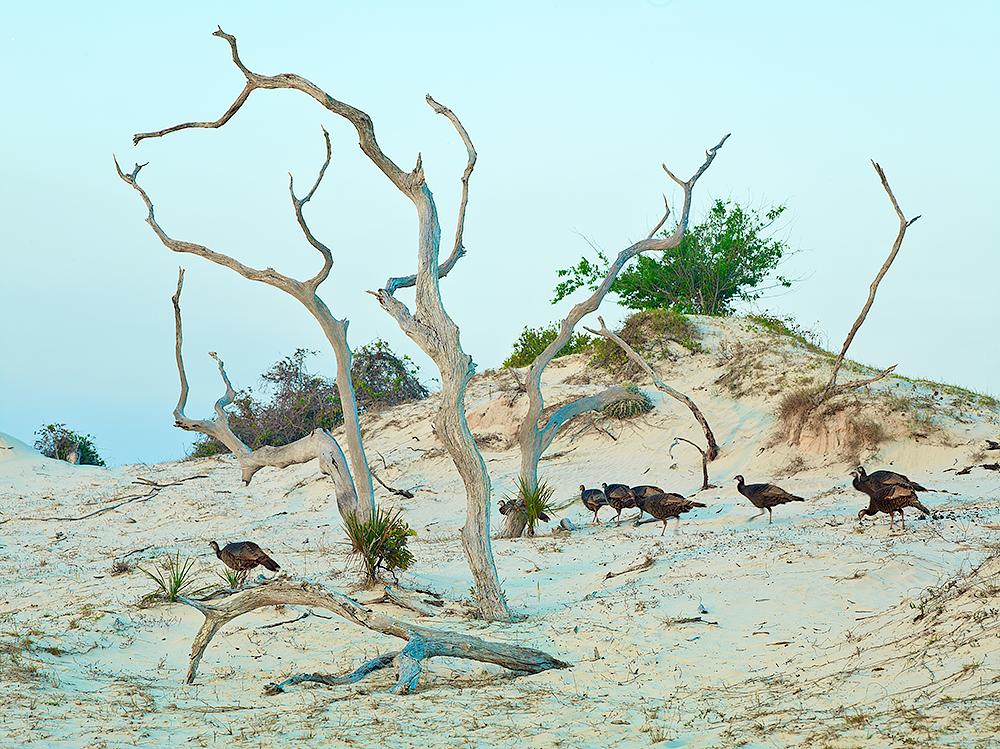 Sand Dune & Turkeys by cs750 in Regular Member Gallery