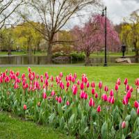 Tulips In Boston by RMR in Regular Member Gallery