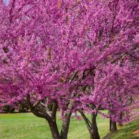 Redbuds In Bloom by Joe Colson in Regular Member Gallery