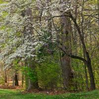Dogwood In Bloom by Joe Colson in Regular Member Gallery