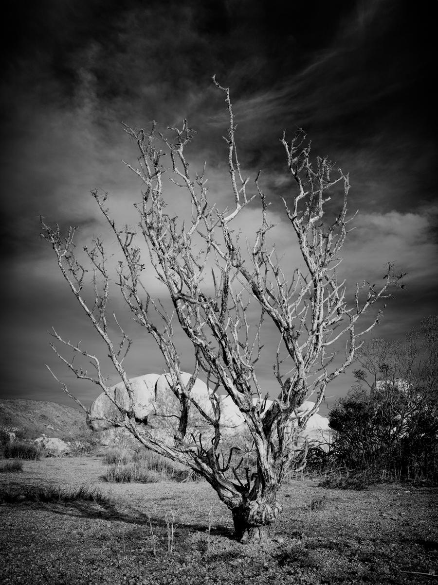 Joshua Tree by Joseph Ramos in Joseph Ramos
