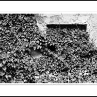 Gates Of Zion Ivy by Ben Rubinstein in Misc Jerusalem/Tzfat (Safed)