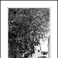 Orange Tree by Ben Rubinstein in Misc Jerusalem/Tzfat (Safed)
