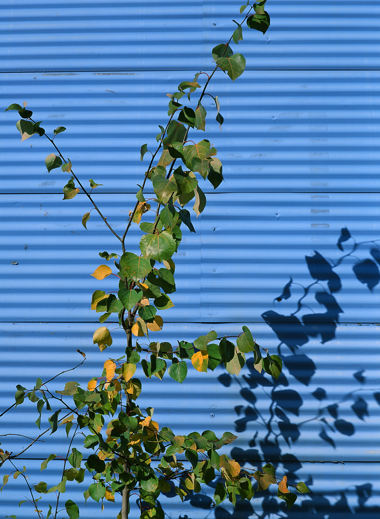 Green Branches, Blue Building by bensonga in bensonga