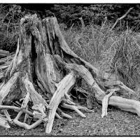 Tree Stump - Turnagain Arm near Hope by bensonga in bensonga