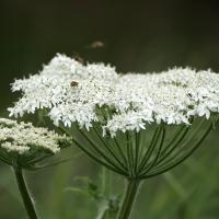 Cow Parsnip and Bees by bensonga in bensonga