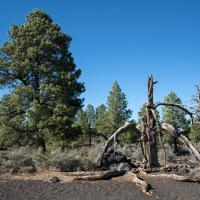 Sunset Crater NM Trees by bensonga in bensonga