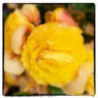 Begonia by bensonga
