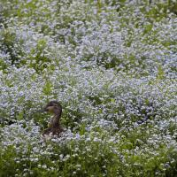 Mallard female in wildfowers by bensonga