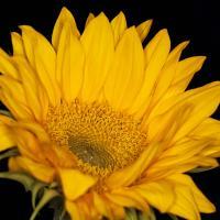 Sunflower by bensonga in bensonga